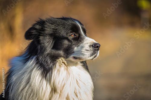 Canvas border collie dog