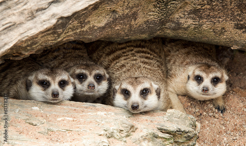 Fotografia Portrait of meerkat