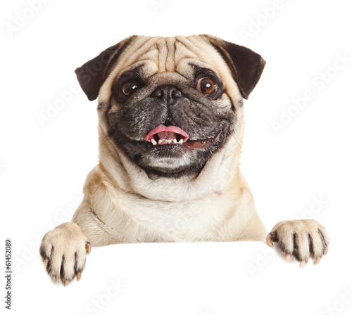 Canvas Print Pug Dog with blank billboard. Dog above banner or sign. Pug dog
