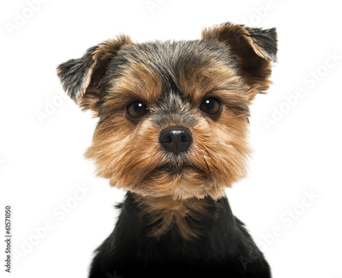 Canvas Print Close-up of a Yorkshire Terrier looking severly at the camera