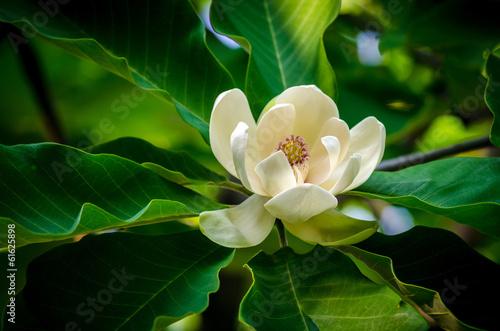 Obraz na plátně spring magnolia tree flower