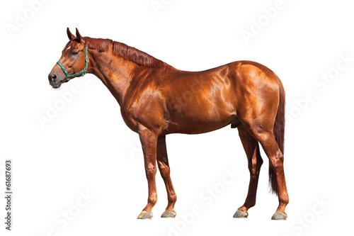 Fototapeta Chestnut horse isolated on white background