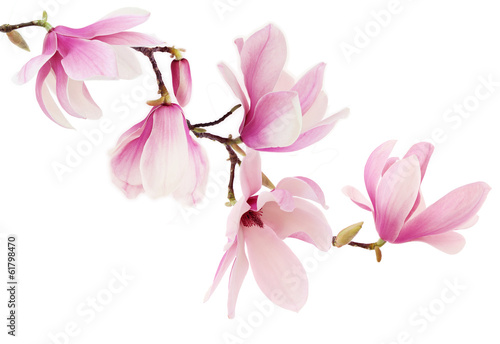 Pink spring magnolia flowers branch