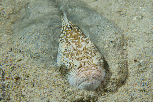 Fotografie, Tablou Stargazer priest scorpion fish