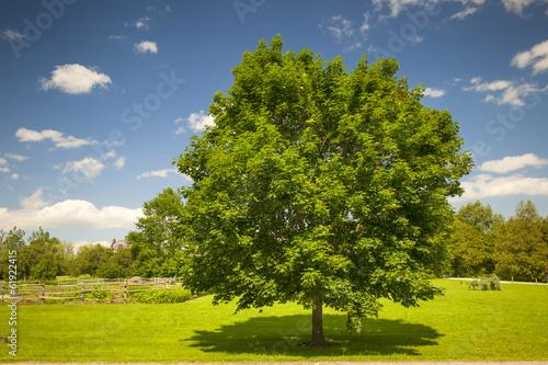 Maple tree in summer field