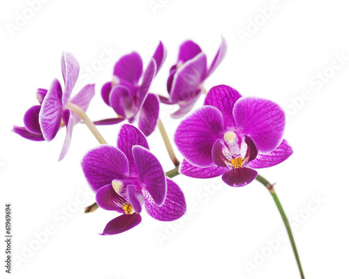 Canvas Print Rare purple orchid isolated on white background.