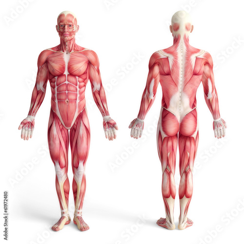 Canvas male anatomy of muscular system - front and back view