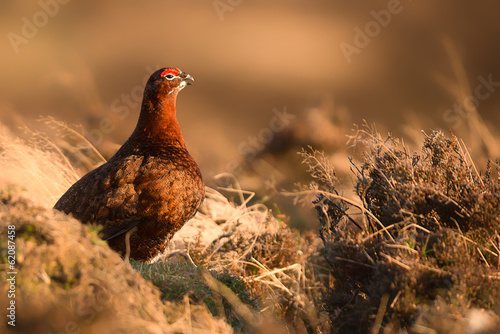 Canvastavla Red Grouse at Sunset 2