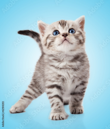 kitten on a  blue background