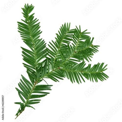 Obraz na płótnie Beautiful yew twig, isolated on white