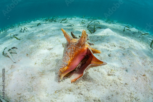 Fotografering Queen Conch