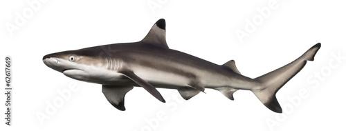 Obraz na plátně Side view of a Blacktip reef shark, Carcharhinus melanopterus