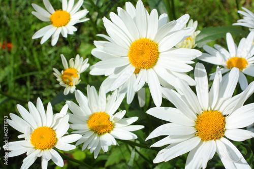 Summer meadow of daisies