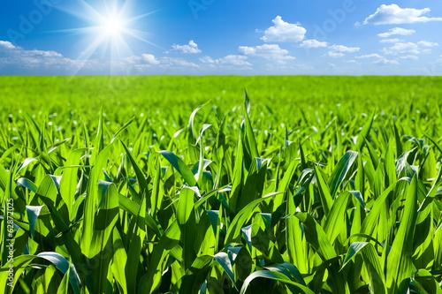 Cuadros en Lienzo Corn field