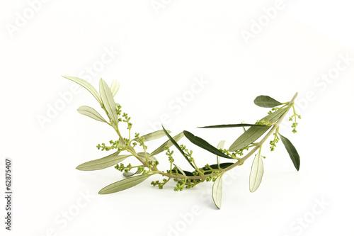 Ramoscello di ulivo fiorito