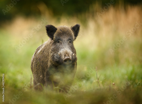 Wild boar walking through forest