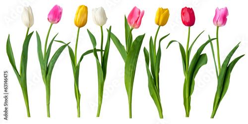 tulips #63146475