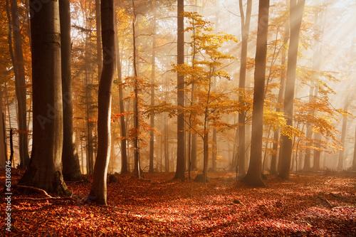 Fotografia Carpathian beech forest, Slovakia.