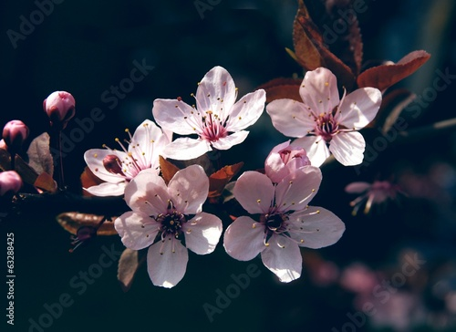 pink flowers of crabapple tree at spring