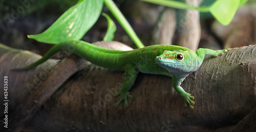 Slika na platnu A green Gecko, perched on a branch