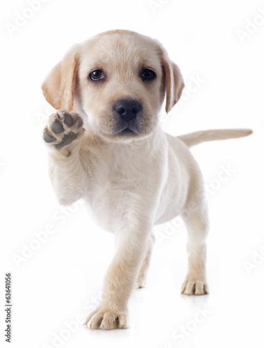Canvas Print puppy labrador retriever