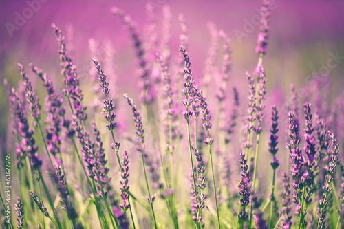 Naklejka premium Kwiat lawendy