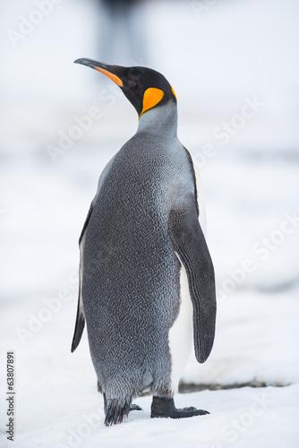 Pingwin królewski, Georgia Południowa, Antarktyda