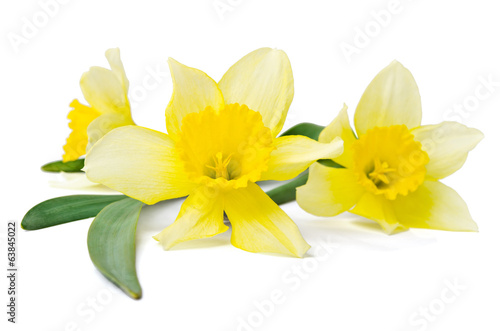 yellow daffodil isolated on a white background Fototapet