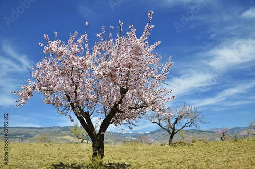 Fotografia Field of almond blossoms