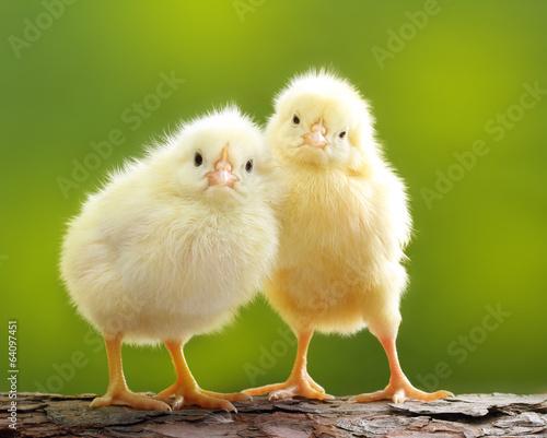 Obraz na płótnie Cute little chicken