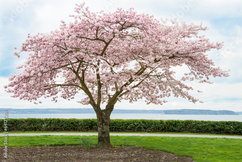 Canvas Japaanese Cherry Tree in Bloom on Coast