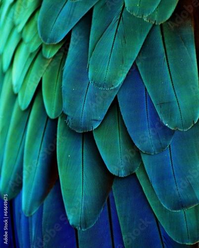 Fototapeta Niebieskie i zielone pióra papugi ara wysoka
