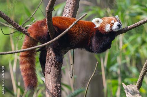 Fototapeta Red Panda, Firefox or Lesser Panda