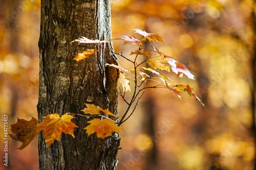 Orange fall maple