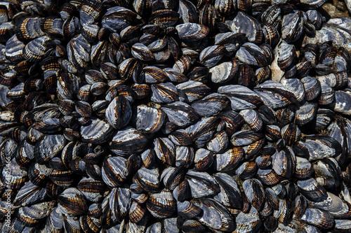 California Mussels 1