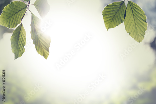 Fresh green spring leaves with sun flare Fototapeta