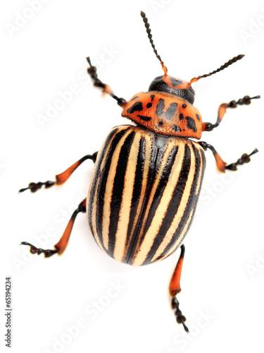 colorado beetle Poster Mural XXL