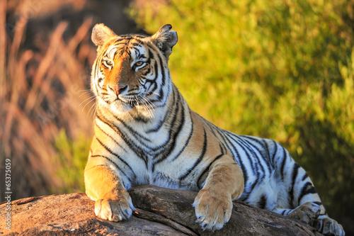 Canvas Print Portrait of a Tiger