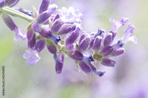 fresh lavender flower close up