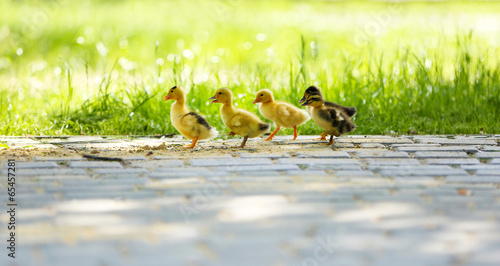Little cute ducklings, outdoors