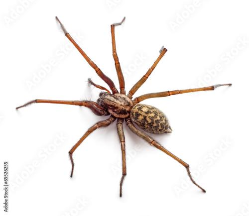 Obraz na płótnie Spider