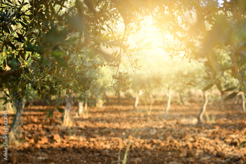 Canvas Print Olive trees garden, mediterranean olive field ready for harvest.