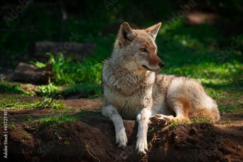 Fotografia American Coyote Lying Down Close Up