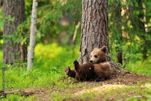 Fototapeta Bear cub resting