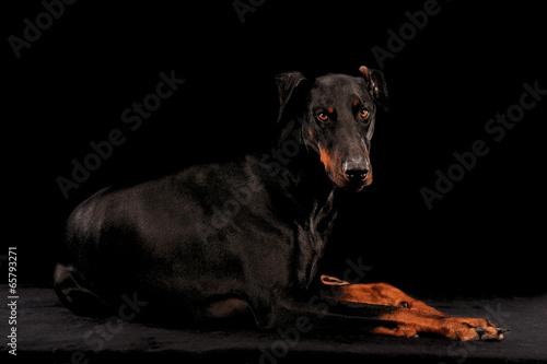 Canvas-taulu Dobermann Pinscher liegend auf Schwarz