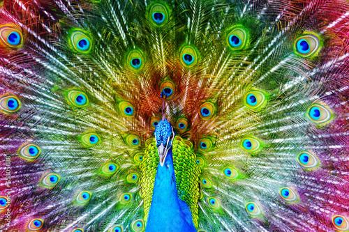 Fototapeta premium Paw z rozpostartymi piórami.