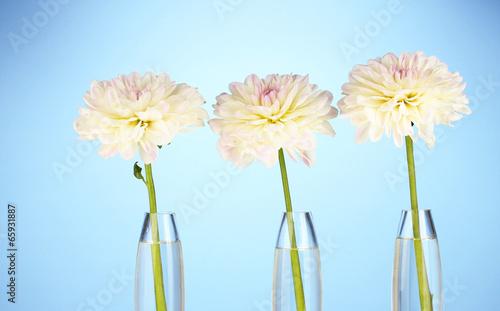 Beautiful white dahlias in glass vases