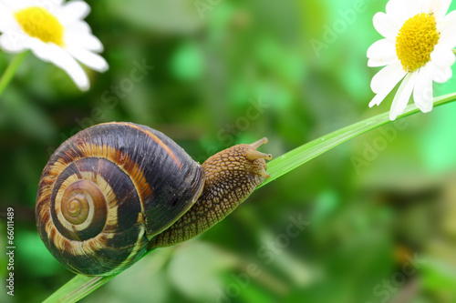 Common snail crawling on plant in garden