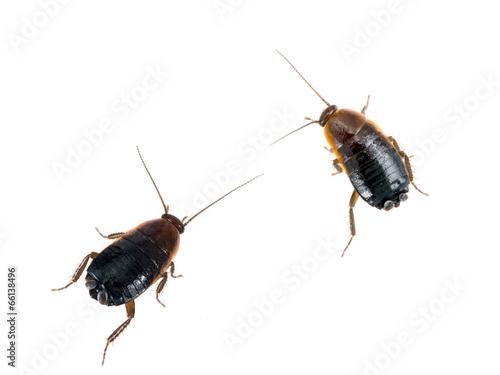 Blatta orientalis - common black cockroaches, white background
