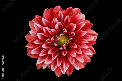 Fotografía dahlia flower